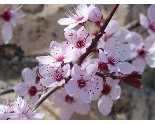 Отдушка, Гранат и вишневый цветок