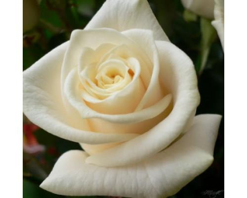 Отдушка, Роза белая