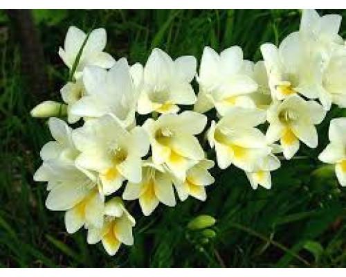 Отдушка, Орхидея и жасмин