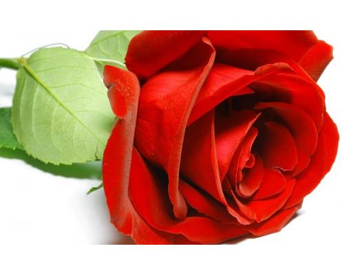 Отдушка, Роза Красная