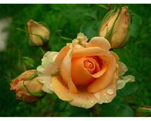 Отдушка, Роза чайная