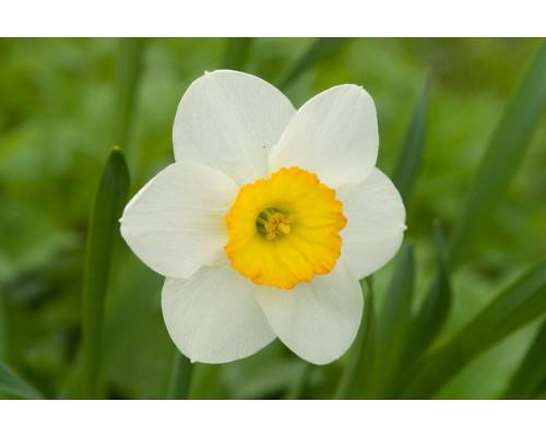 Отдушка, Нарцисс и белый чай