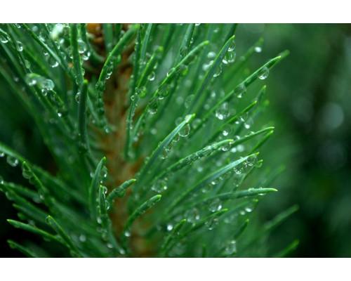 Отдушка, Хвойный лес
